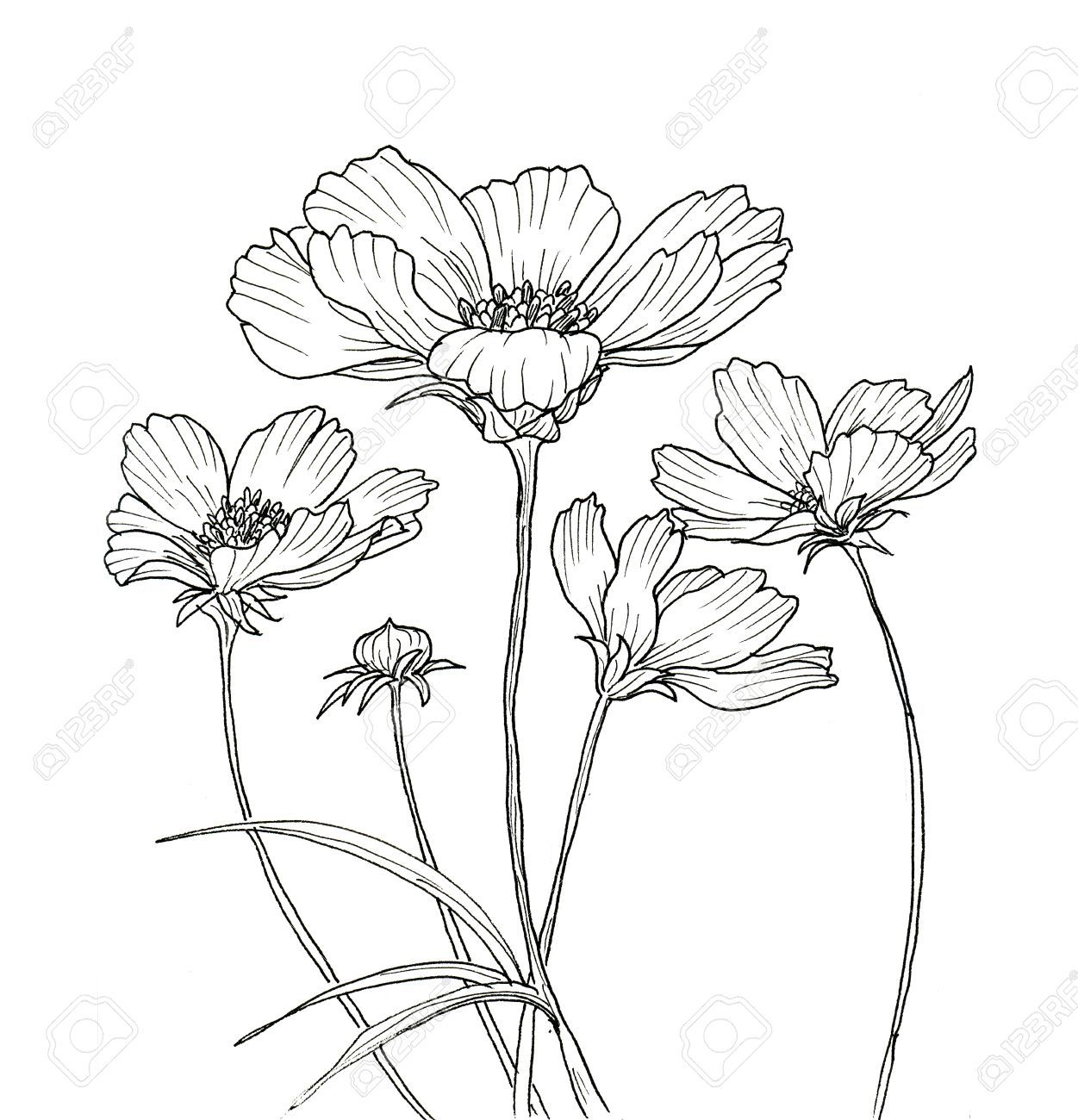 Line ink drawing of cosmos flower black contour on white background