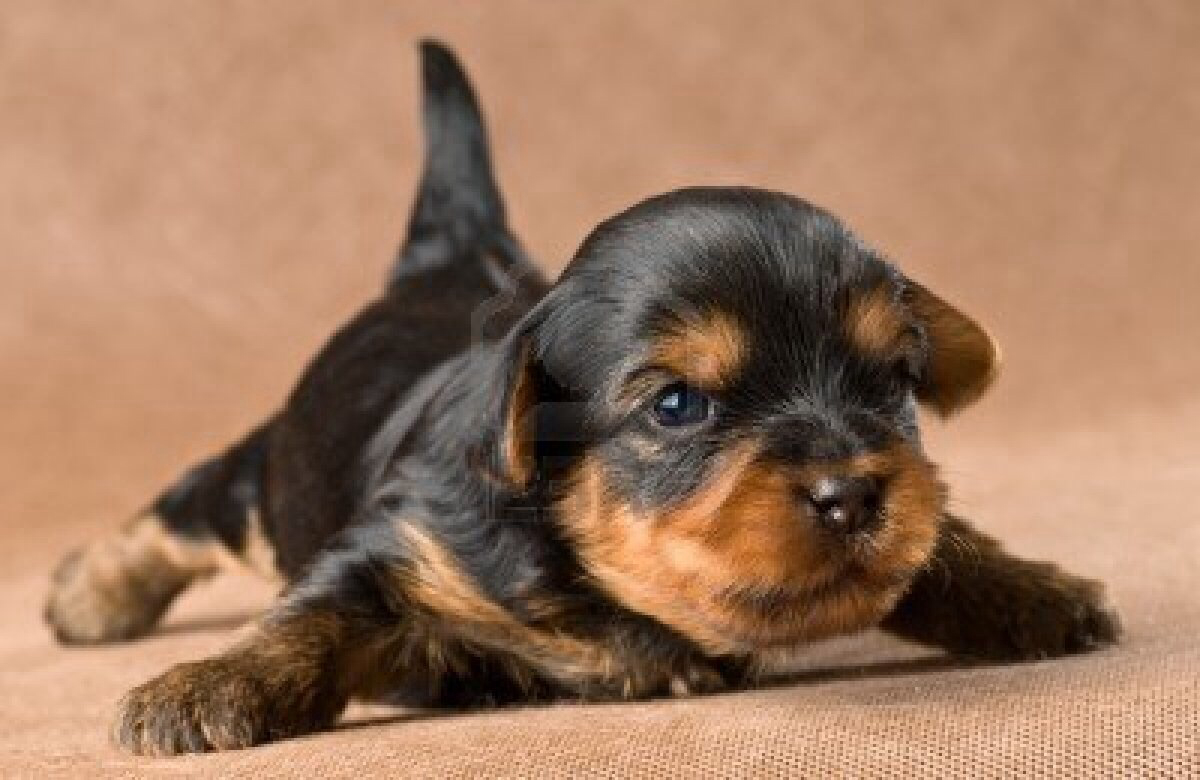 Yorkie Puppy I Remember When Ours Were First Born The Little Girl