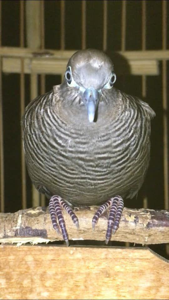 Suara Perkutut Cemani Super Burung Suara Pancing