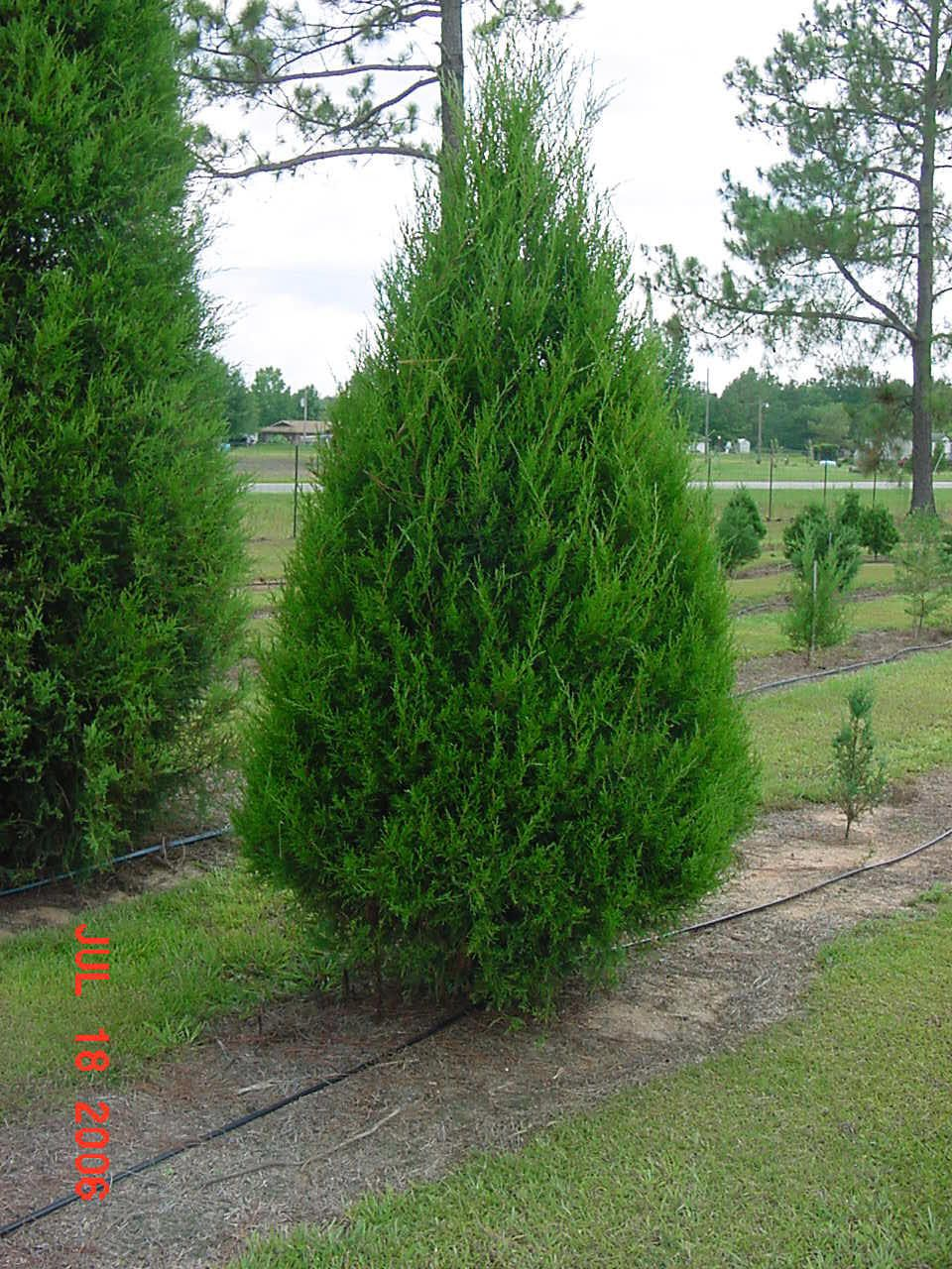 Red Cedar Tree ~ Southern red cedar tree we ll post ours once uploaded