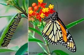 Image result for New Zealand native butterflies