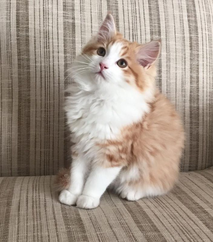 Highcountrycats Ragamuffin Cat Kittens Cats And Kittens