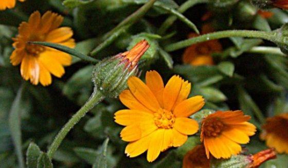 plante medicinale în tratamentul varicelor)