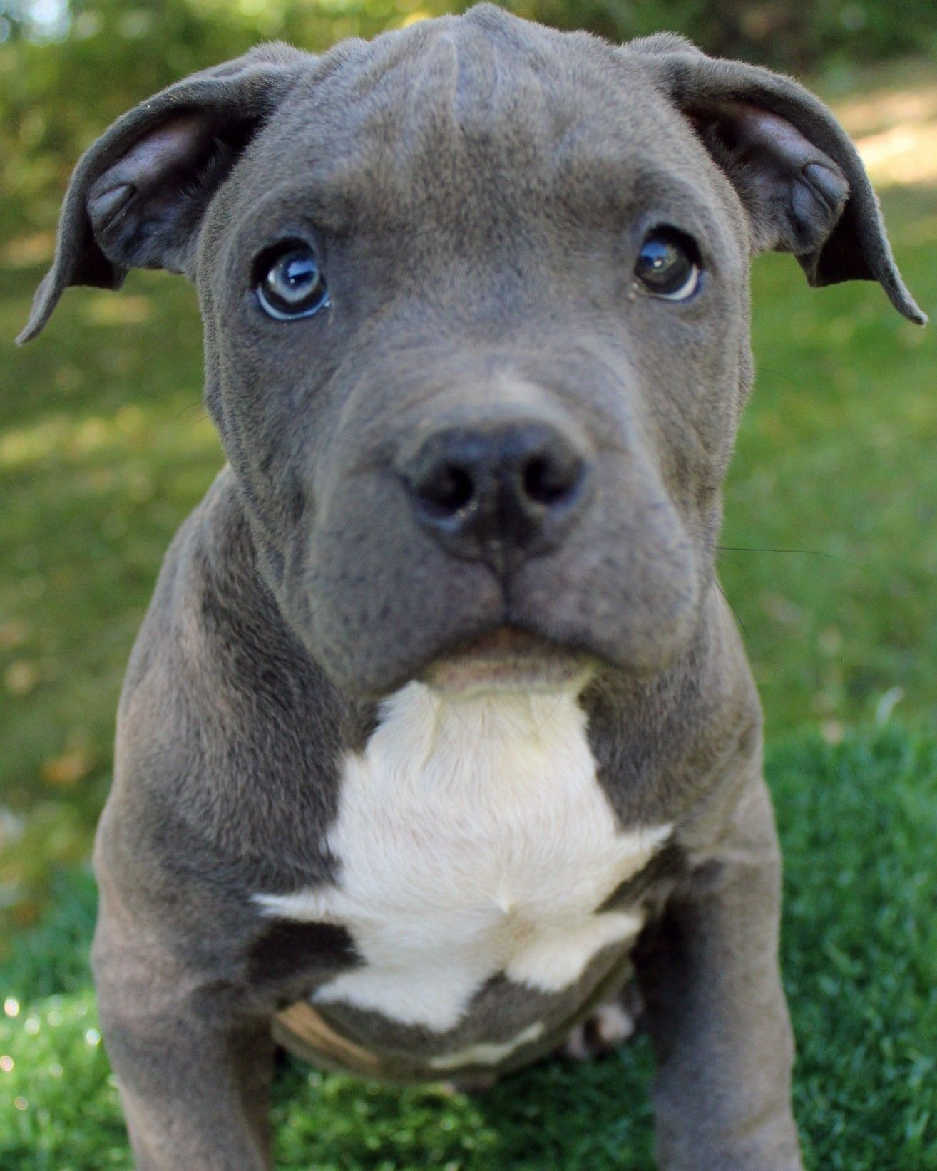 Here Is A Photo Of An Amazing Male Blue Pitbull Puppy That We Have For Sale To See Our Available Blue Nose Pitbull Puppies Pitbull Puppies Blue Nose Pitbull