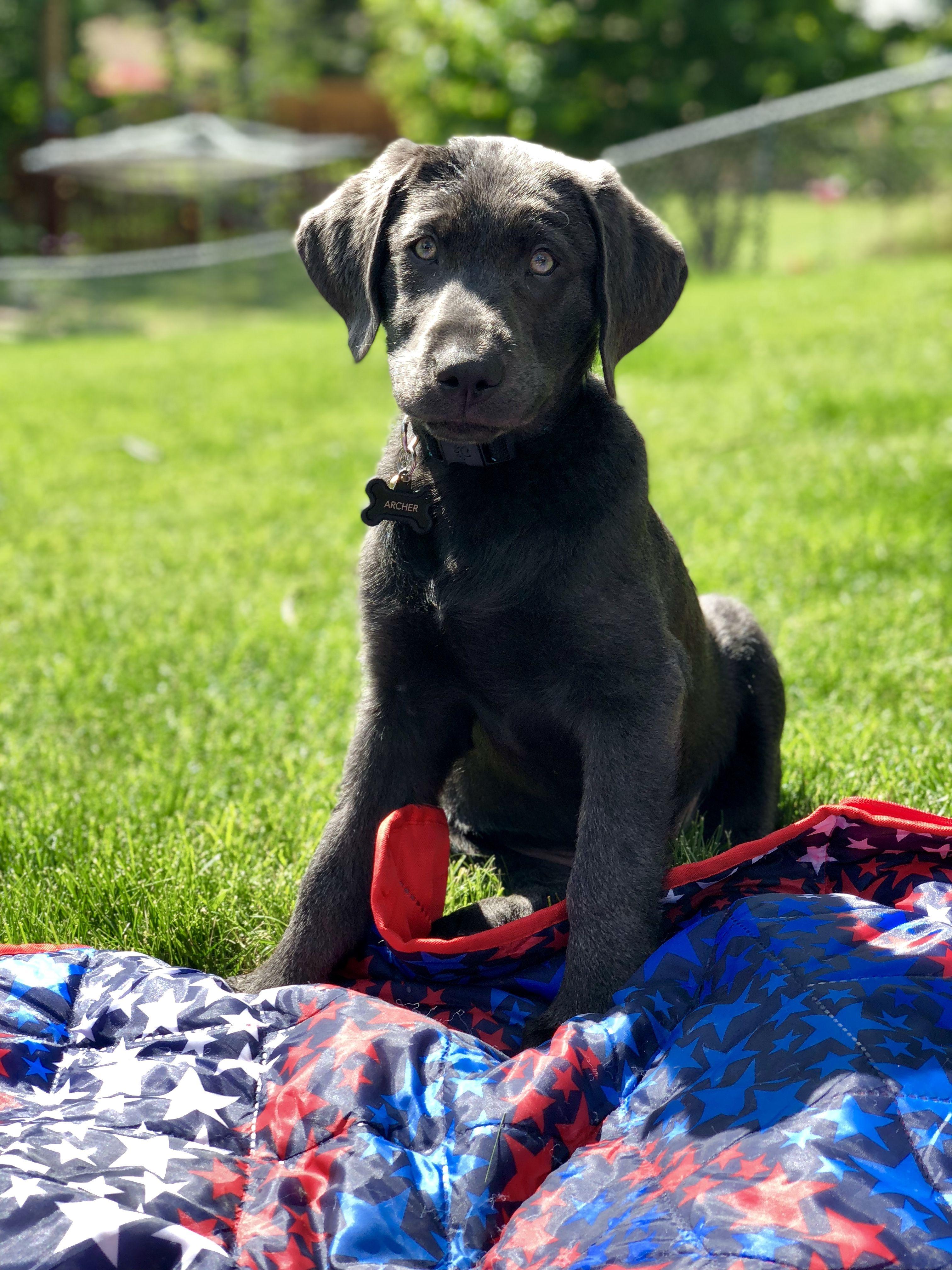 Charcoal labrador puppy charcoal labrador labrador