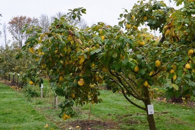 List Of Uncommon Cold Hardy Fruit Trees Gardening Zones 3 7