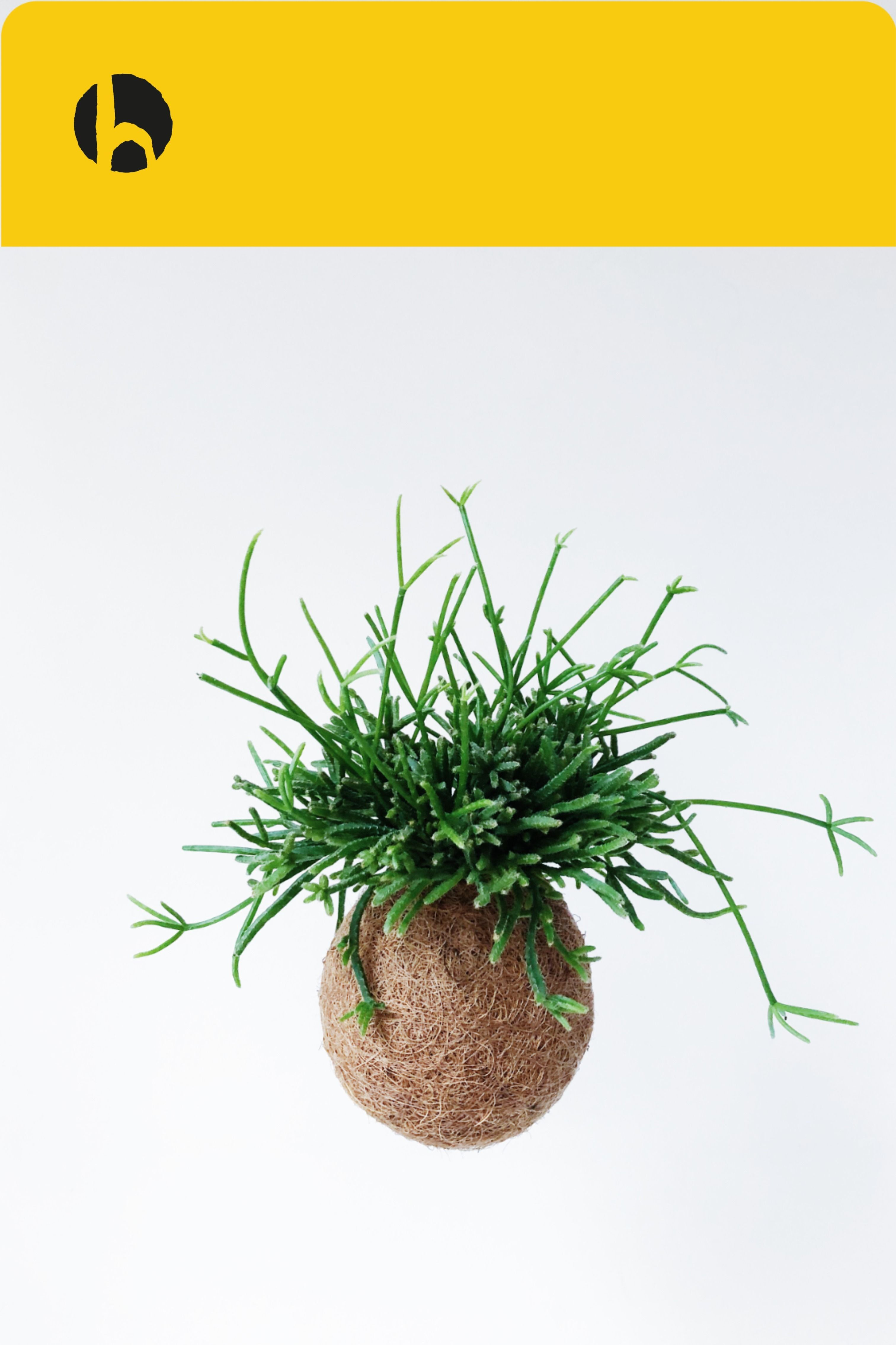 Kokedama - easy-care plants without a pot - #kokedama #plants #without - #PflanzenTopf #pflegeleichtepflanzen