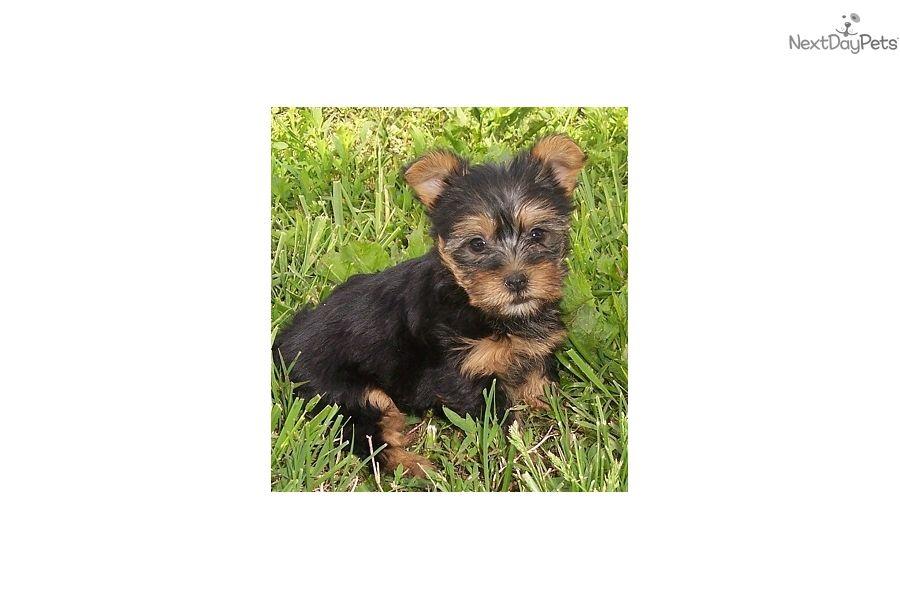 Silky Terrier Puppy For Sale Near Joplin Missouri 381847ef A911