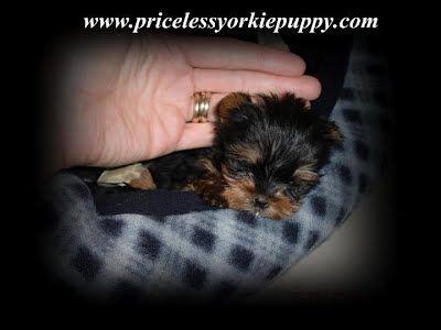 Michigan Yorkie Puppy Breeder Bringing Love And Joy Into Peoples