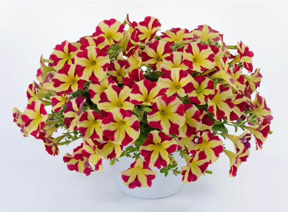 Petunia Amore Queen Of Hearts From Danziger Petunias Flower Farm Edible Garden