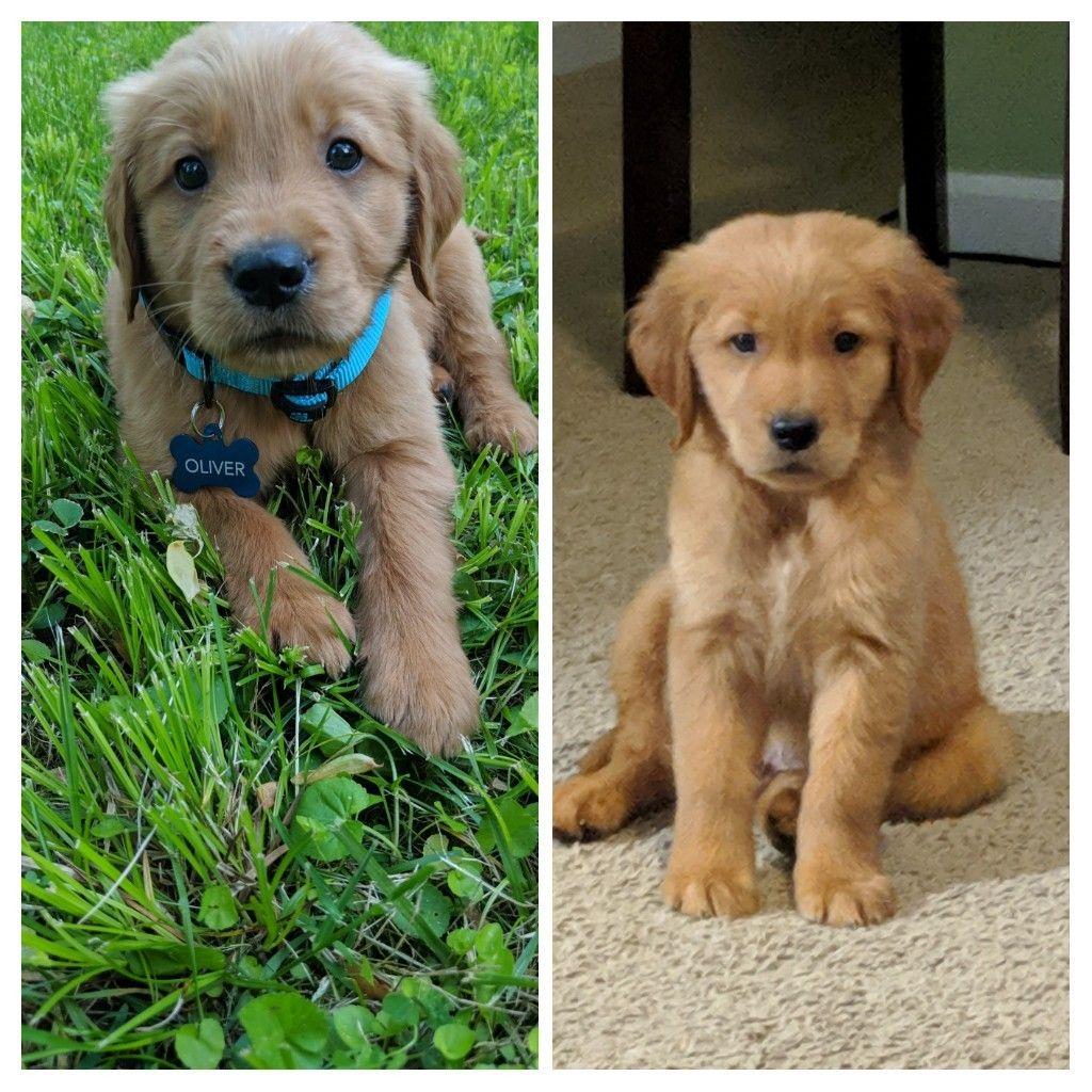 Ive grown so much in two weeks goldenretriever