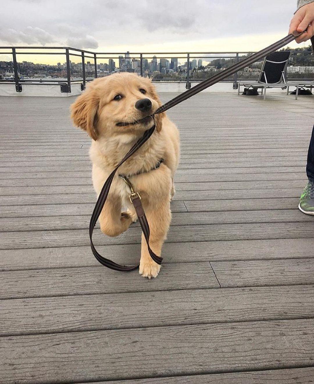 Pin By สองพ อล กหล อ น ำตาลกะบ ดด On Golden Dog Golden Retriever Labrador Retriever Golden Dog