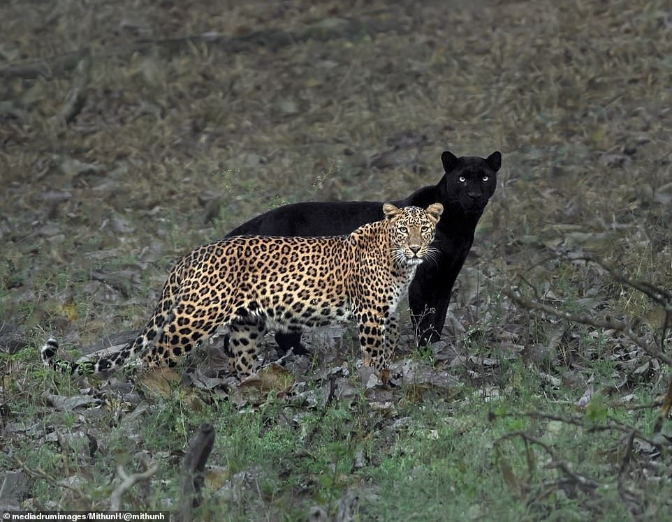 The moment a leopard is shadowed by her black panther