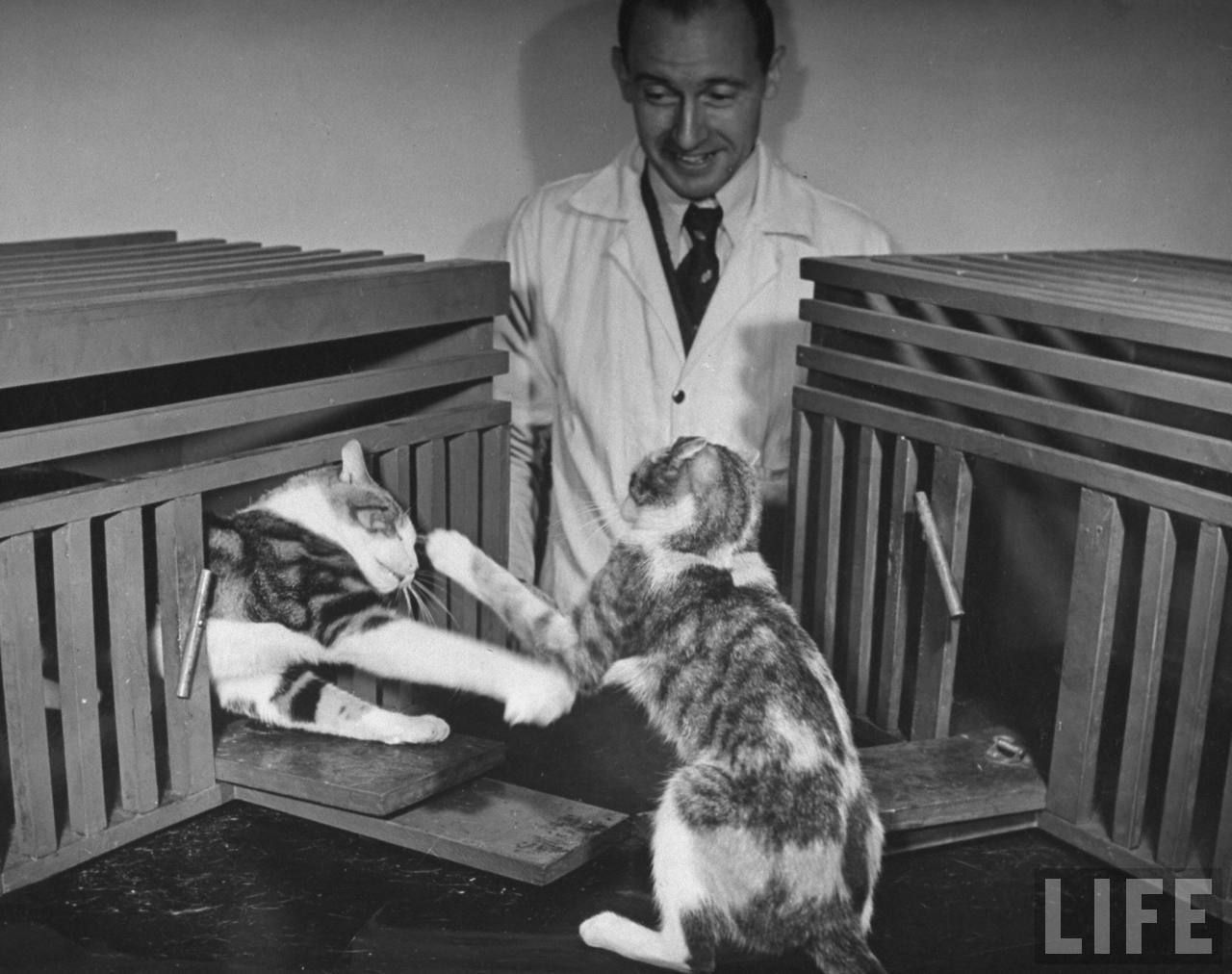 Nina Leen, Scientists conducting psychology testing on cats at Brooklyn College, 1941. Source: LIFE Photo Archive
