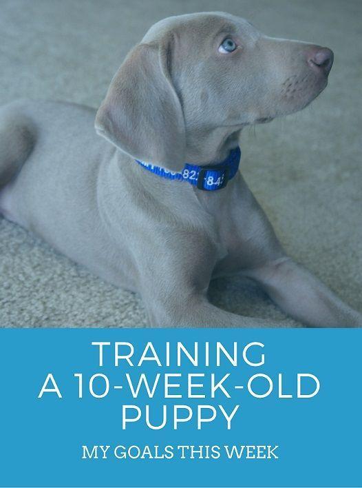 Training A 10 Week Old Puppy Training Your Puppy Puppy Training Weimaraner Puppies