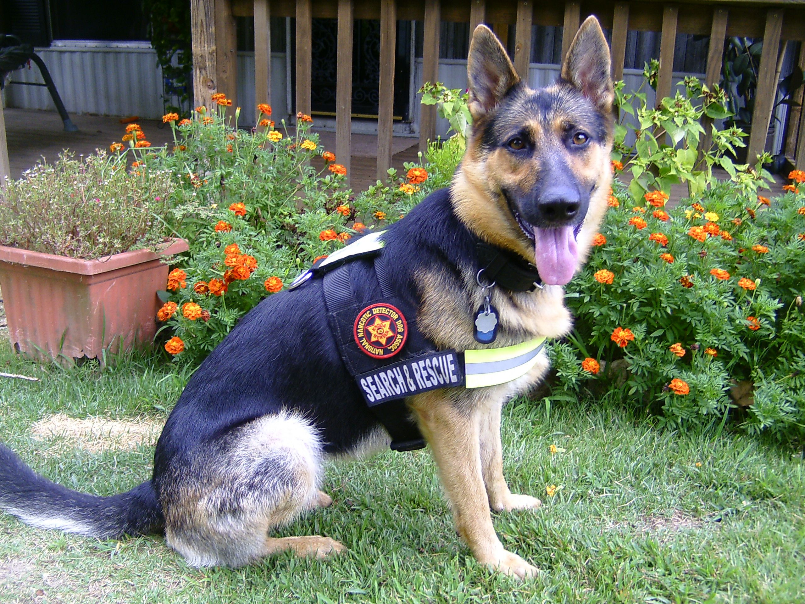 K-9 Jodi is a volunteer Search and Rescue K-9 for the ...