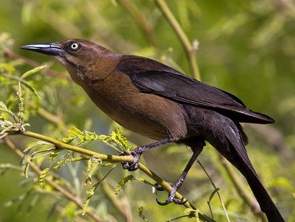 Great-tailed Grackle Adult female Large and lanky blackbird