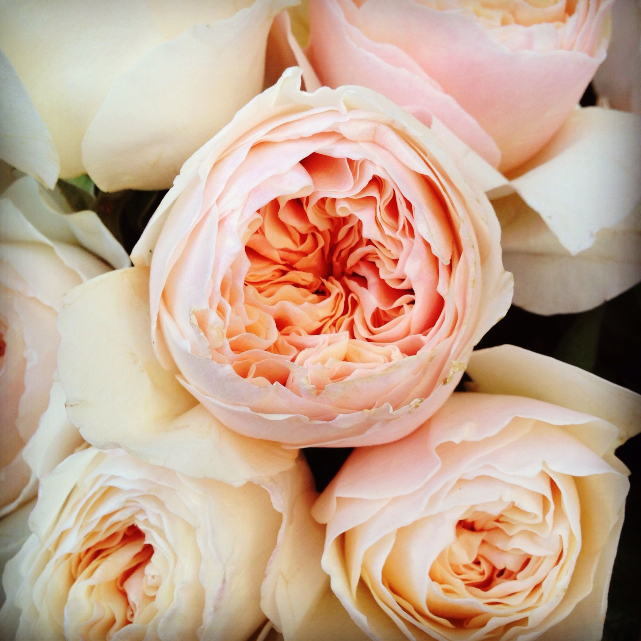 David Austin Juliet Roses Photo Www Evelyncoleflowers Co Uk