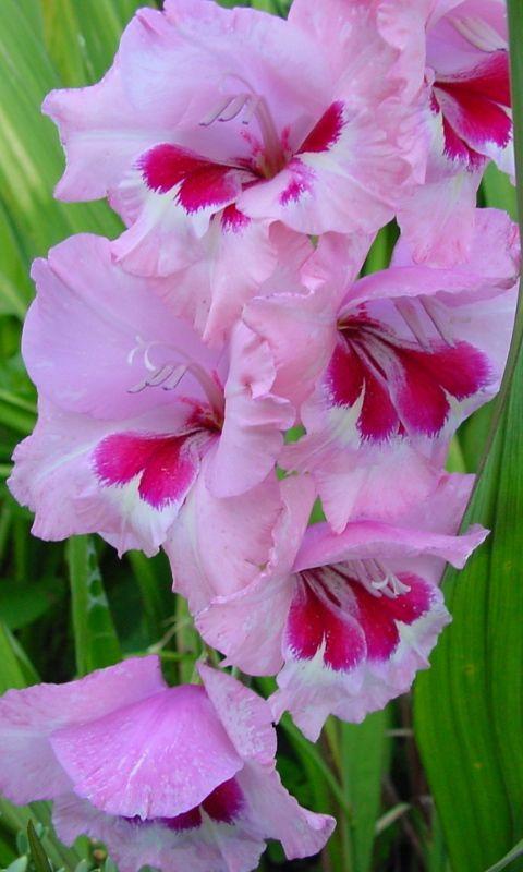 Download Wallpaper 480x800 Gladiolus Flowers Leaves Htc Samsung Galaxy S2 2 Ace 480x800 Hd Backgr Beautiful Flowers Beautiful Pink Flowers Gladiolus Flower