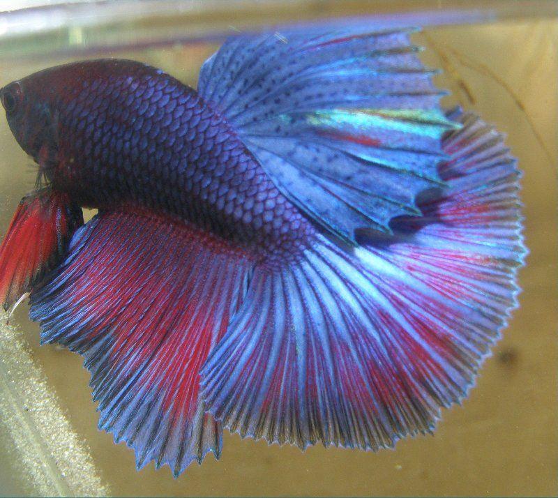 Poisson combattant concour recherche google betta fish for Recherche poisson rouge