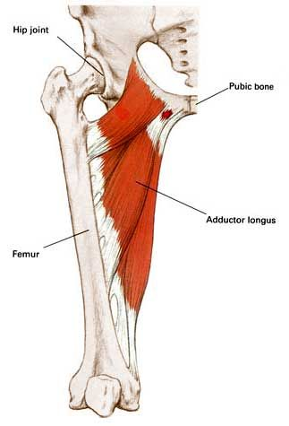Adductor Longus Adducts Flexes Rotates Thigh Anatomy Study