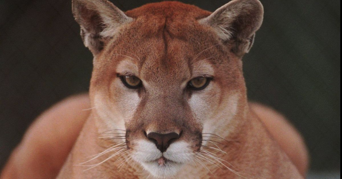 The Michigan DNR says the cougar was found in Dickinson County, about four miles north of Iron Mountain.