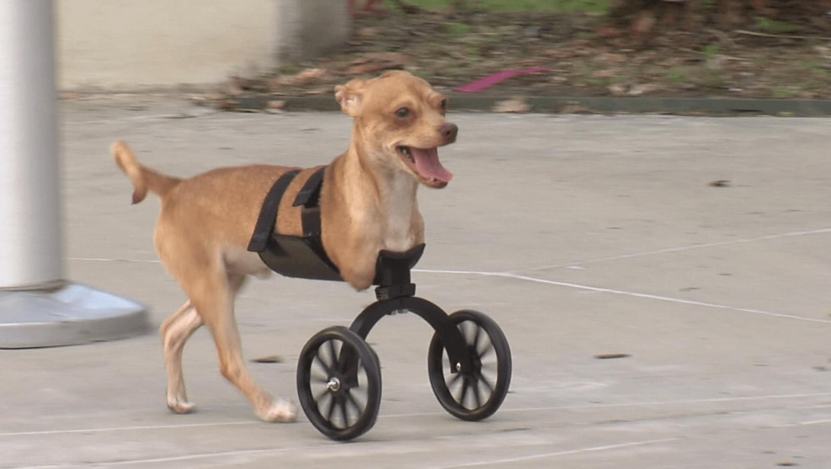 Scooter The 2 Legged Puppy Becomes Internet Sensation Thanks To