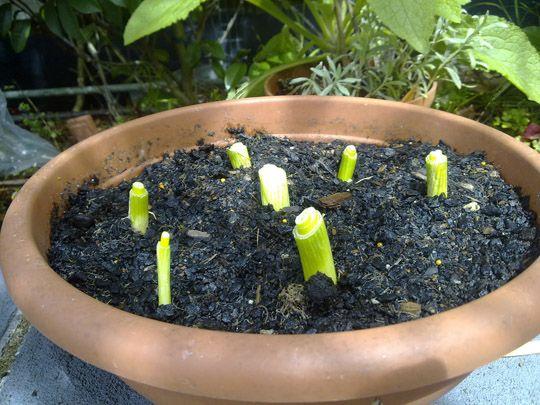 les 25 meilleures id es de la cat gorie cultiver des oignons verts sur pinterest repousser les. Black Bedroom Furniture Sets. Home Design Ideas