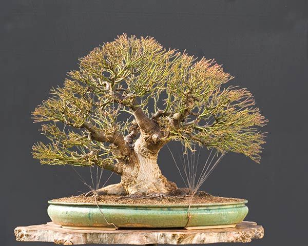 Phenomenal Acer Burgerianum Bonsai By Wp Notice How Neat Tidy His Guy Wiring Wiring Digital Resources Cettecompassionincorg