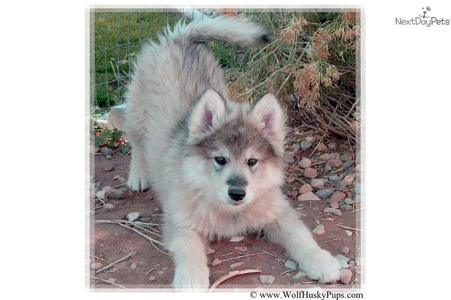 Adopt Tenille On Female Siberian Husky Siberian Husky Dog Husky