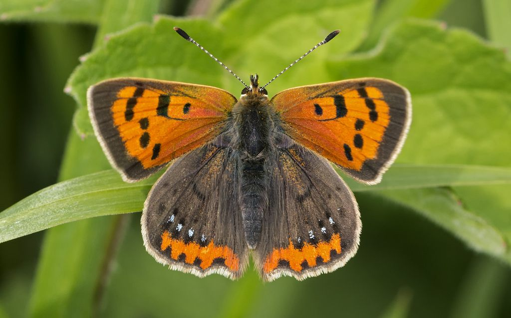 https://flic.kr/p/HE58xx | Small Copper (Barry's) | Taken at Wembury