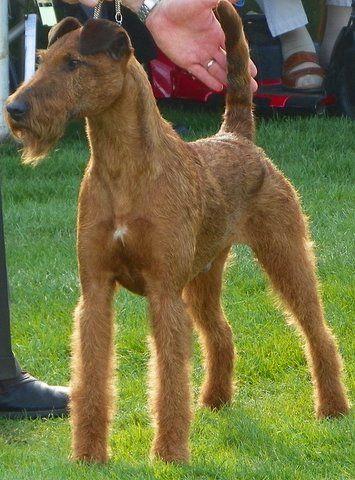 Glenstal Irish Terriers Best Irish Terriers Ever Irish