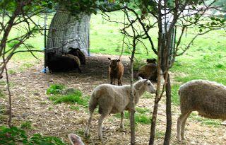 River Oaks Farm & Studio: Cattle Panel & T-Post Sheep Shelters