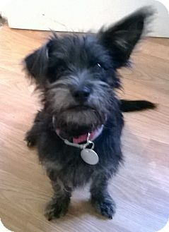 Miniature Schnauzer Norwich Terrier Mix With Images Scruffy
