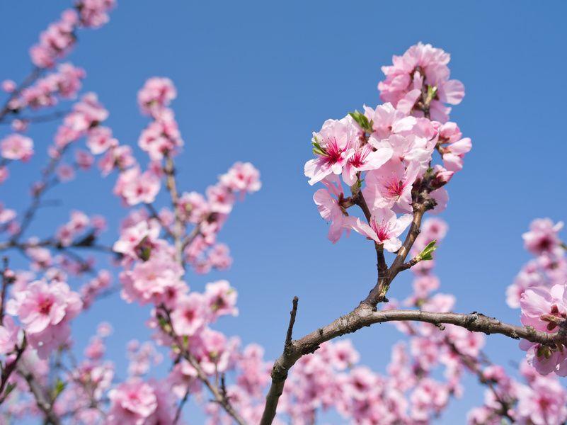 cerisier du japon nature pinterest cerisier du japon cerisier et le japon. Black Bedroom Furniture Sets. Home Design Ideas