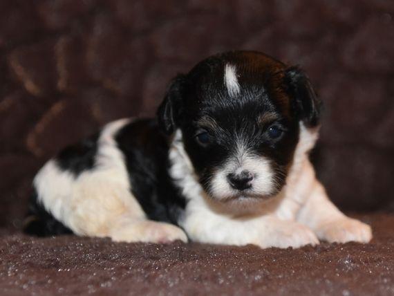 Mariann Yorkiepoo Puppy 576041   PuppySpot   dogs   Puppies, Pup