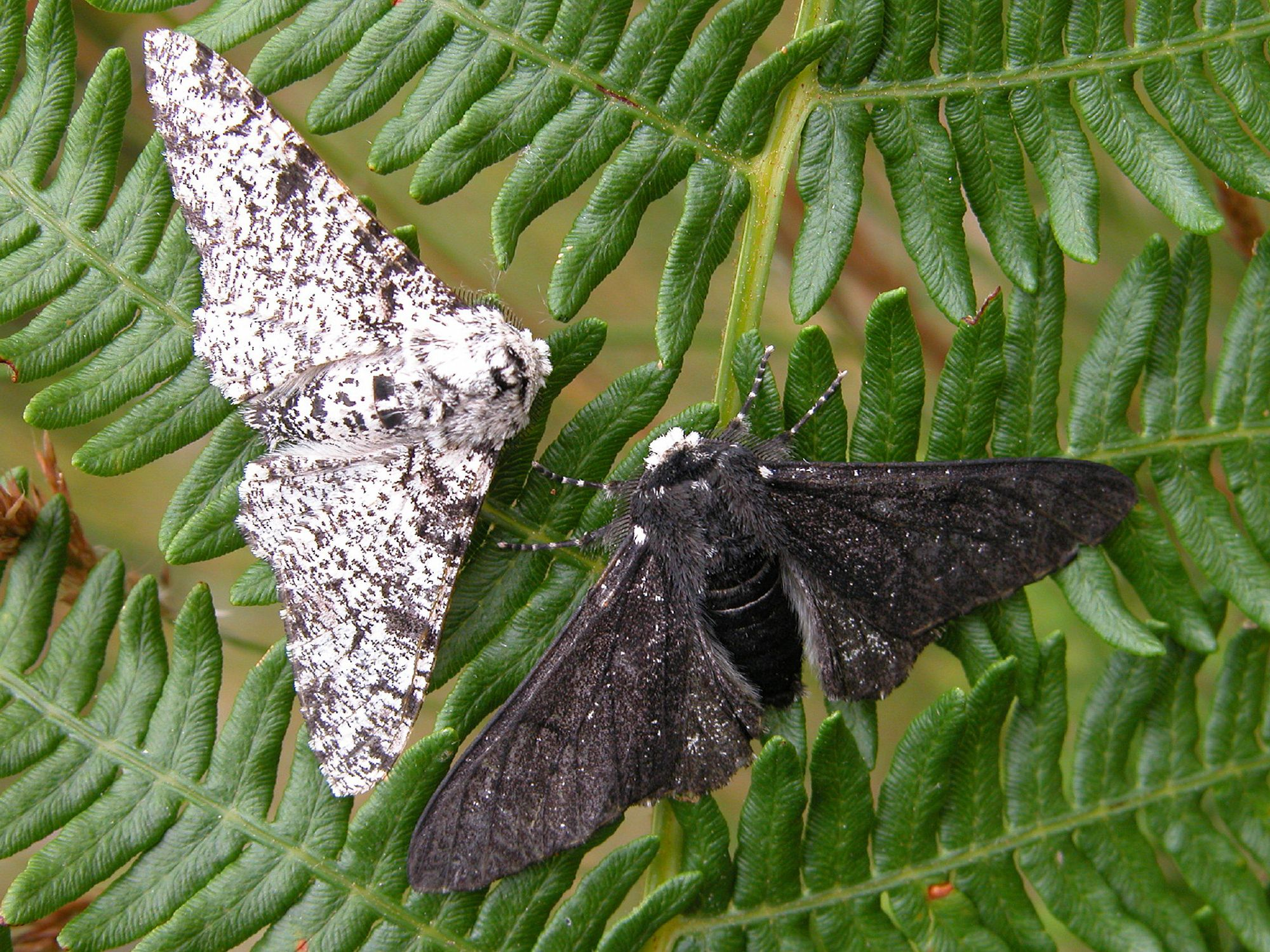 Peppered Moth Light And Dark Forms