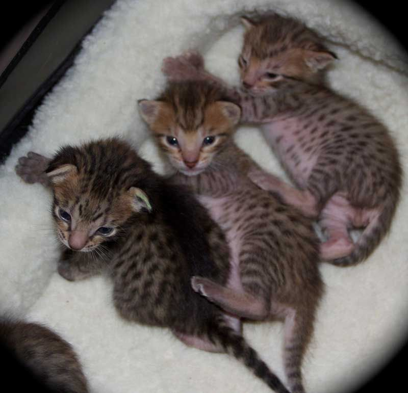 Savannah Kittens Twins F5 Sbt Savannah Kitten Savannah Cat Breeders Kittens