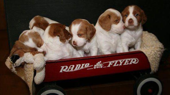 Michigan Brittany Club Breeder Code Of Ethics Brittany Puppies Brittany Puppies For Sale Puppies