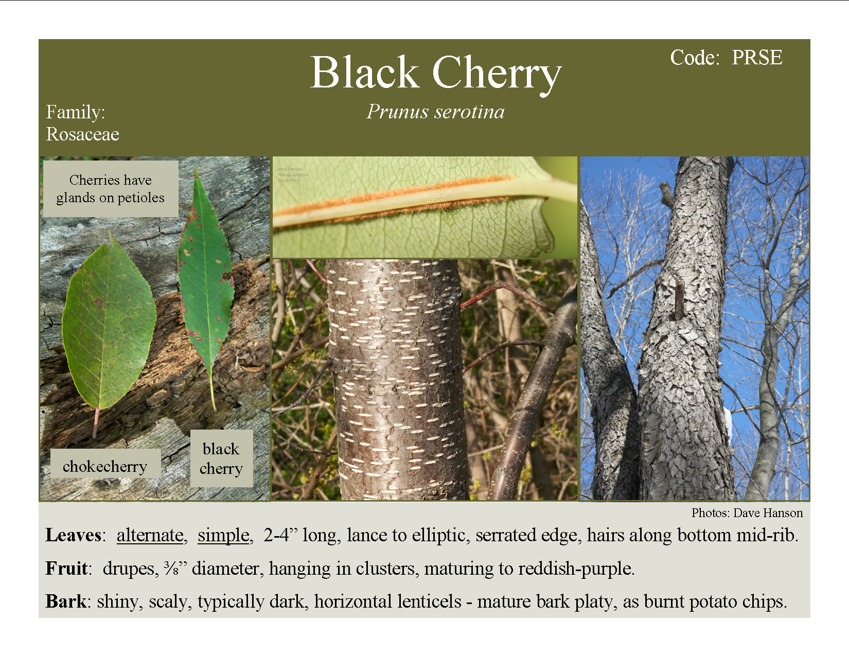 The Very Hardy Fast Growing Prolific Cherry For Wildlife Tree Identification Prunus Tree Care