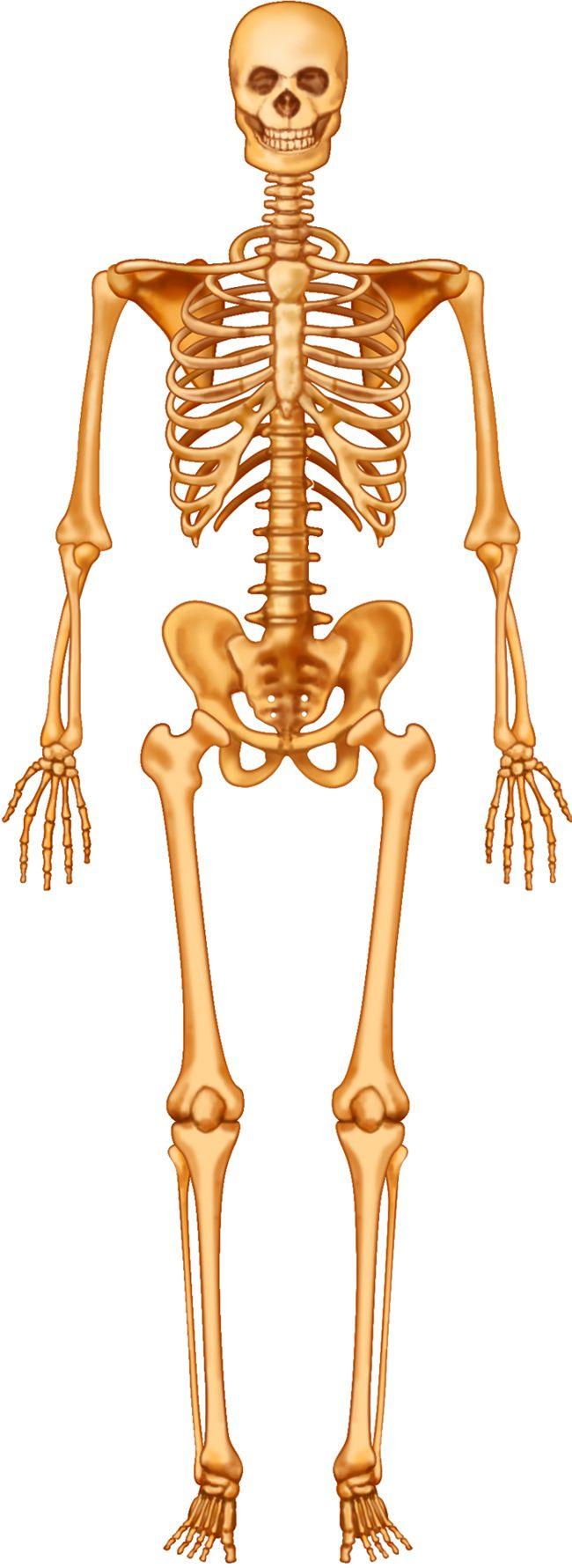 Unlabeled Human Skeleton Diagram - koibana.info   Human ...