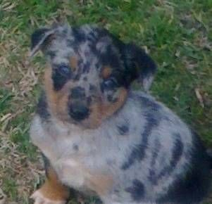 Purebred Australian German Koolies For Sale Dogs Puppies Gumtree Australia Lockyer Valley Gatton 1131189472 Dogs And Puppies Dogs Puppies