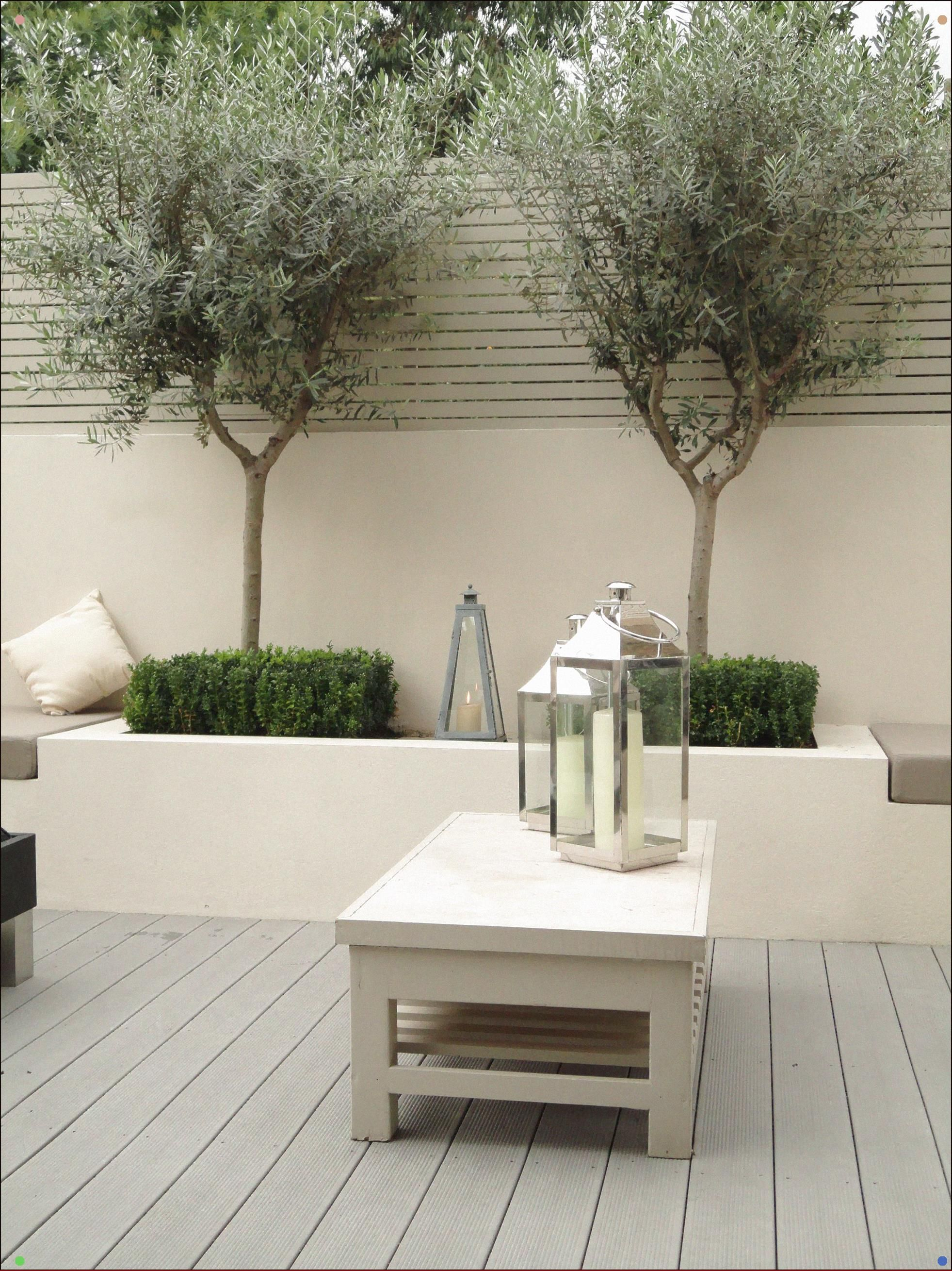 Olive Trees In Courtyard Evergreen