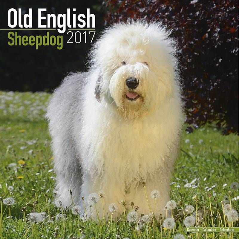 Bobtail / Old English Sheepdog Kalender 2017 Avonside  De Old English Sheepdog Kalender 2017 Avonside met prachtige foto's van de Old English Sheepdog. De kalender start in september 2016 en heeft foto's en notitie ruimte van januari 2017 t/m december 2017.  EUR 12.99  Meer informatie
