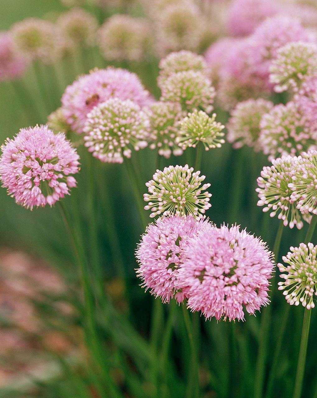 16 Of The Prettiest Allium Varieties To Plant In Your Garden In 2020 Plants Allium Flowers Flowers Perennials