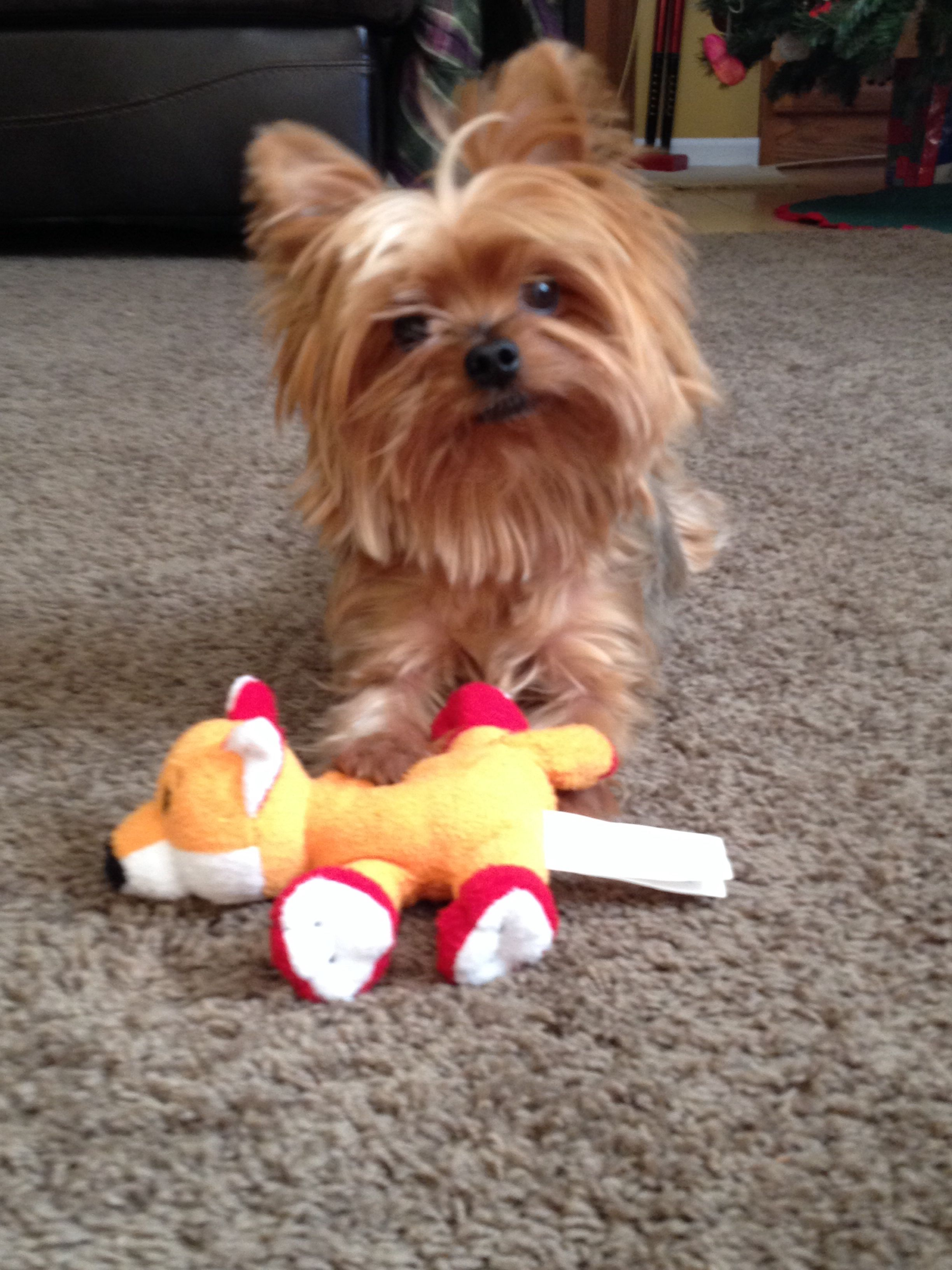 Hailee 6 year old yorkie Yorkie, Yorkshire terrier, Kitty