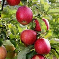 Pink Lady Apple Tree Cripps Pink Variety Apple Tree Pink Lady Apples Growing Fruit Trees