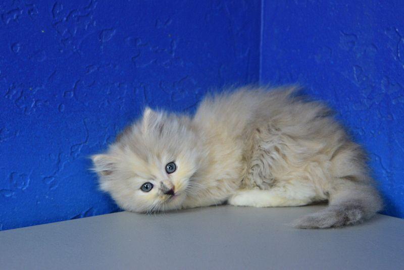 Cindy Lou Who Blue Cream Mitted Mink Female Ragdoll Kitten Munchkin Kitten Ragdoll Teacup Kitten