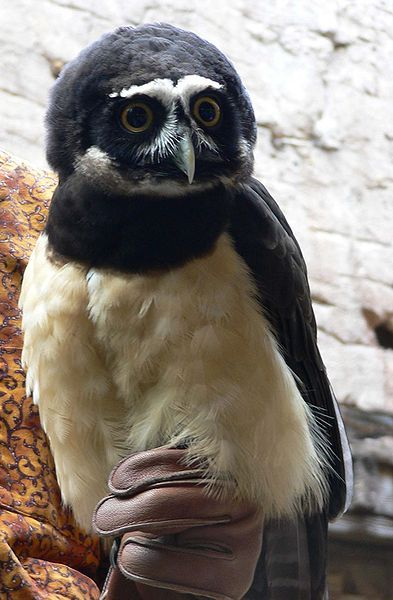 wow! what a character.  spectacled owl.