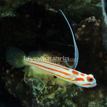 Yasha White Ray Shrimp Goby Ideally This Would Be Purchased With A Couple Of Banded Pistol Shrimp Saltwater Aquarium Fish Aquarium Fish Saltwater Aquarium